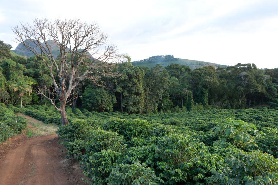 baum am Wegrand neben einem Kaffeefeld auf der Fazendas Dutra.