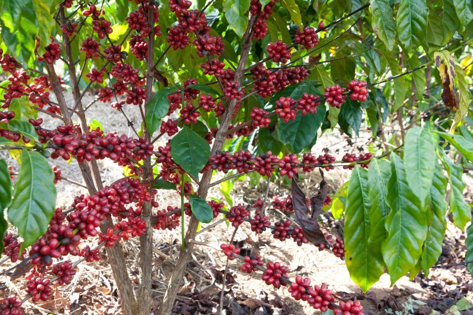 Kaffeepflanze auf der Fazendas Dutra. Reich tragend mit vielen roten Kaffeekirschen.