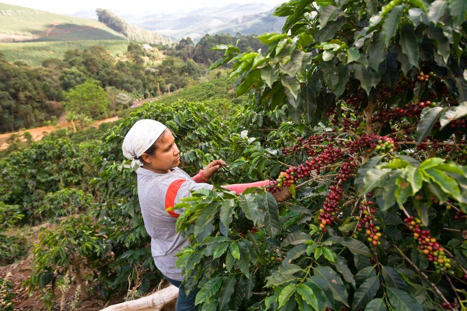 Kaffeepflückerin erntet Kaffee von einer reichtragenden rotkirschigen Kaffeepflanze auf der Fazendas Dutra. Im Hintergrund sind Kaffeepflanzen und ein rötlicher Weg  zu erkennen.