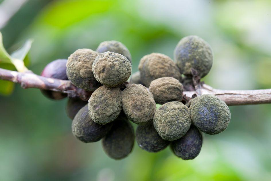 Cluster Kaffeekirschen als Late Harvest Special mit grünem unscharfem Hintergrund.