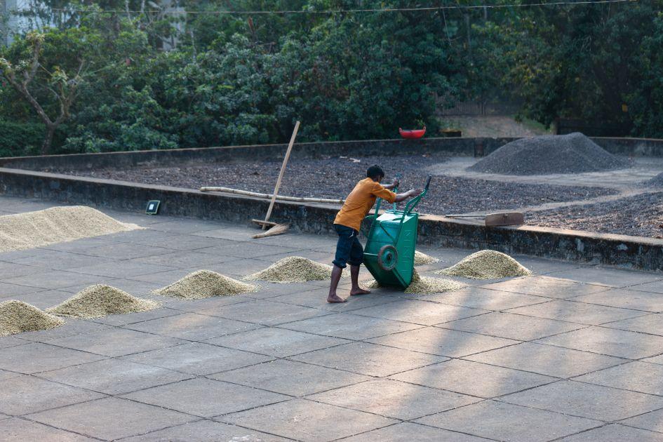 Farmarbeiter kippt Parchment Kaffee mithilfe einer Schubkarre auf den Trocknungshof.